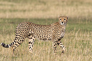 Cheetah Photos - Cheetah Walking, Maasai Mara, Kenya by Piper Mackay