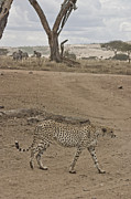 Cheetah Hunting Framed Prints - Cheetah Walks by On Looking Zebra Framed Print by Darcy Michaelchuk
