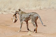 Acinonyx Jubatus Photos - Cheetah With A Rabbit by Photostock-israel