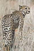 Cheetah Acrylic Prints - Cheetah With A Radio Collar Acrylic Print by Tony Camacho