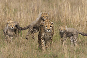 Cheetah Acrylic Prints - Cheetah With Cubs, Maasai Mara, Kenya Acrylic Print by Piper Mackay