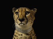 Cheetah Photos - Cheetah With Diamond Collar On Black Background, Close-up by Erik Snyder