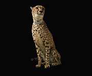 Pet Collar Posters - Cheetah With Diamond Collar On Black Background Poster by Erik Snyder