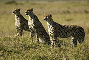 Cheetah Photo Posters - Cheetahs, Acinonyx Jubatus Poster by Nigel Hicks
