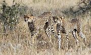 Africa Originals - Cheetahs on Alert by Nancy  Hall