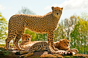 Cheetahs Prints - Cheetahs Three Print by Chris Thaxter