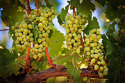 Winemaking Framed Prints - Chelan Grapevines Framed Print by Inge Johnsson