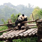 Chengdu Panda Print by Carla Parris