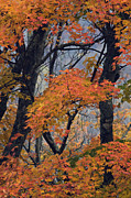 Orange County North Carolina Framed Prints - Cherohala Maple - D007676 Framed Print by Daniel Dempster