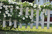 Fences Photos - Cherokee Roses 2 by Jan Amiss Photography