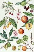 Peaches Painting Metal Prints - Cherries and other fruit-bearing trees  Metal Print by Elizabeth Rice