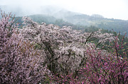 Y120907 Art - Cherry Blossom And Peach Trees by Zhangyuan831231@gmail.com