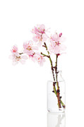 Sprigs Prints - Cherry Blossom Print by Christopher Elwell and Amanda Haselock