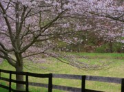 Cherry Blossoms Posters - Cherry Blossom Fence Poster by Joyce  Kimble Smith