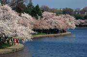 Tidal Photographs Photo Framed Prints - Cherry Blossom Festival, Jefferson Framed Print by Richard Nowitz