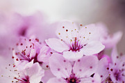 Cherry Blossom Prints - Cherry Blossom Glow Print by Images by Christina Kilgour