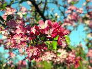 Cherry Blossom Print by Helen Stapleton