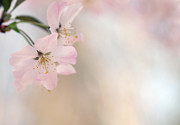 Surrey Prints - Cherry Blossom Print by Images by Christina Kilgour