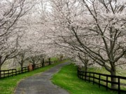 Fences Prints - Cherry Blossom Lane Print by Joyce L Kimble
