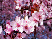 Pink Flower Branch Art - Cherry Blossom by Molly McPherson