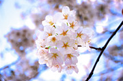 Pink Flower Branch Art - Cherry Blossom On Branch by Japan from my eye