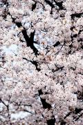 Sightsee Prints - Cherry Blossom Patterns Print by Bill Brennan - Printscapes