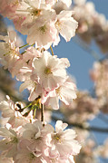 Accolade Metal Prints - Cherry Blossom (prunus accolade) Metal Print by Adrian Thomas
