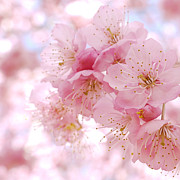 Cherry Blossom Prints - Cherry Blossom Print by Ryo