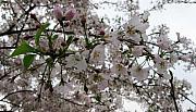 Cherry Blossom Season I Print by Tamara Stoneburner