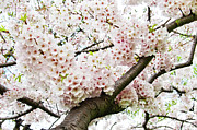 Oriental Cherry Tree Framed Prints - Cherry Blossom Framed Print by Sky Noir Photography by Bill Dickinson