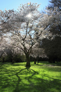 Cherry Blossom Prints - Cherry blossom sunshine Print by Pierre Leclerc