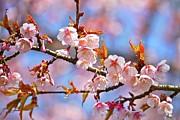 Cherry Blossom Print by T. Kurachi