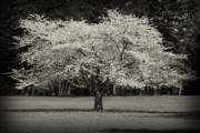 White And Black Landscapes Posters - Cherry Blossom Tree - Ocean County Park Poster by Angie McKenzie