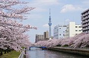 Skyline Framed Prints - Cherry Blossom Trees Along River, Tokyo. Framed Print by I.Hirama