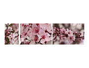 Fruit Tree Art Prints - Cherry Blossom Triptych Print by Brooke Roby