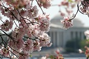 Cherry Blossom Washington Print by Valia Bradshaw