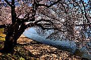 Cherry Blossoms - Washington Dc Print by Wayne Higgs