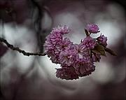 Cherry Blossoms 3 Print by Robert Ullmann