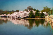 Cherry Blossom Prints - Cherry Blossoms along the Tidal Basin Eight Print by Susan Isakson