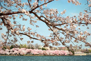 National Historic Landmark District Posters - Cherry Blossoms along the Tidal Basin Five Poster by Susan Isakson