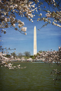 Cherry Blossom Framed Prints - Cherry Blossoms along the Tidal Basin Seven Framed Print by Susan Isakson