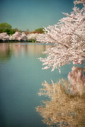 Cherry Blossom Prints - Cherry Blossoms along the Tidal Basin Two Print by Susan Isakson