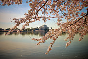 Cherry Blossom Prints - Cherry Blossoms and Jefferson Memorial Print by Susan Isakson