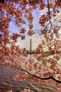 Pink Blossom Trees Prints - Cherry Blossoms and the Washington Monument Print by Lois Bryan