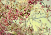 Cherry Art Prints - Cherry Blossoms Print by Cathie Tyler