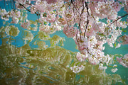 Pale Pink Posters - Cherry Blossoms Close Up Six Poster by Susan Isakson