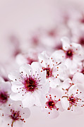 Macro Prints - Cherry blossoms Print by Elena Elisseeva
