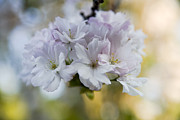 Close-up Floral Images Prints - Cherry blossoms Print by Frank Tschakert