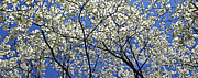 Cherry Blossoms Digital Art Metal Prints - Cherry Blossoms II Metal Print by Glennis Siverson