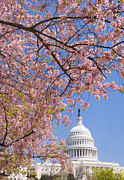 Cherry Blossom Prints - Cherry Blossoms In Front Of Capitol Building In Washington Dc Print by Tetra Images
